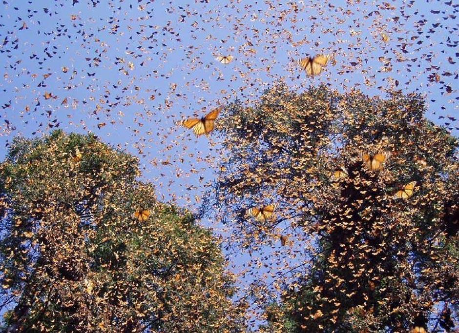butterfly15 Миграция бабочек   монархов