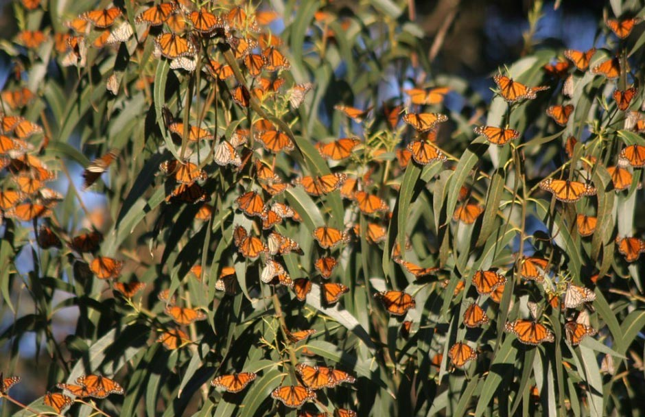 butterfly16 Миграция бабочек   монархов