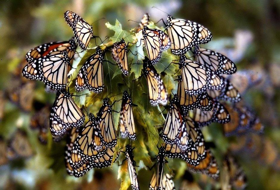butterfly17 Миграция бабочек   монархов