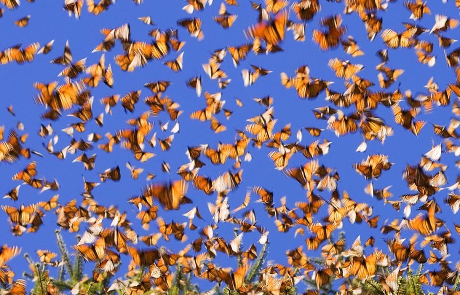 butterfly18 Миграция бабочек   монархов