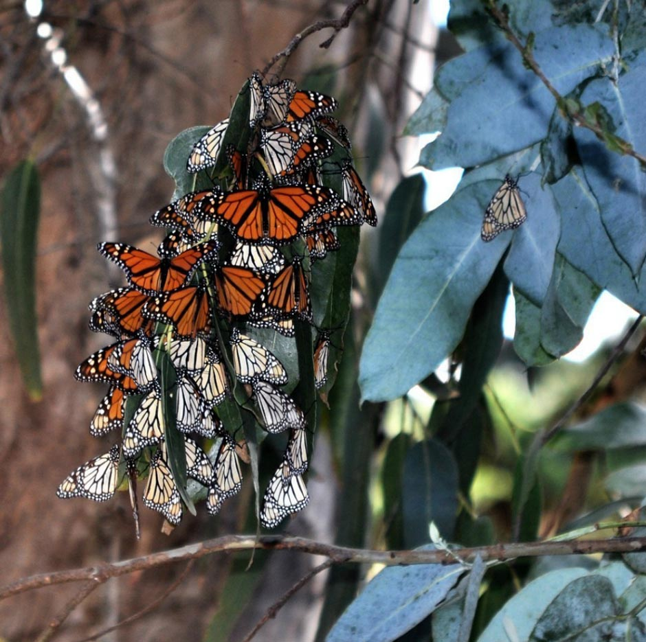 butterfly19 Миграция бабочек   монархов