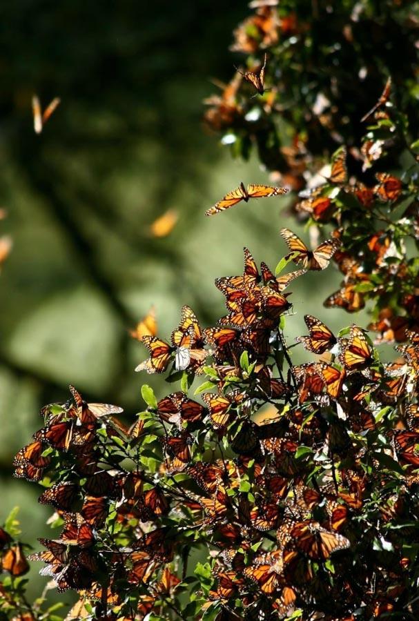 butterfly20 Миграция бабочек   монархов