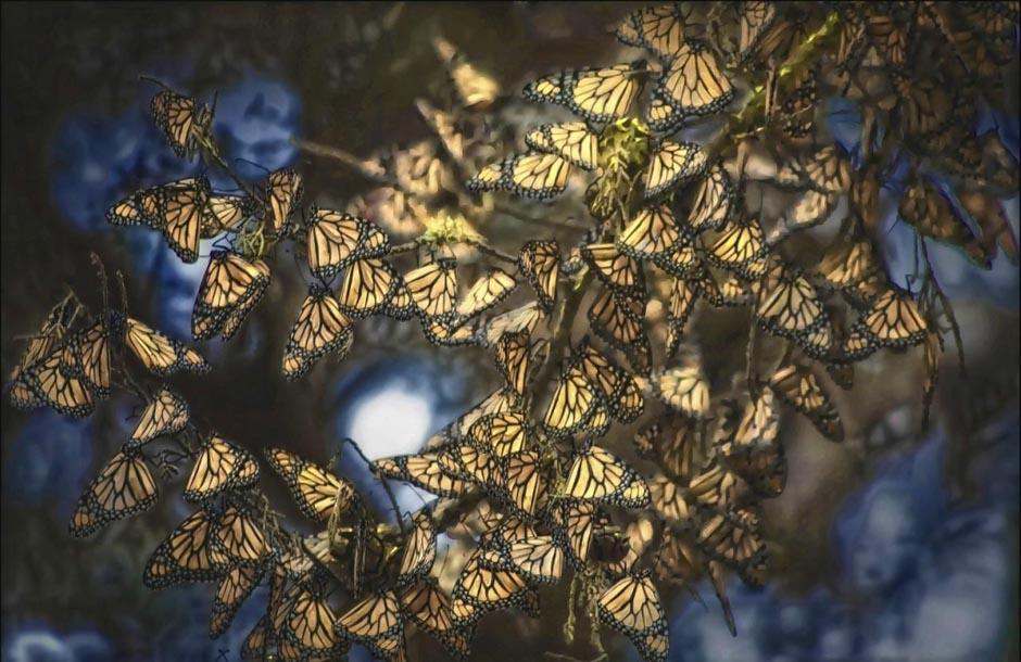 butterfly21 Миграция бабочек   монархов