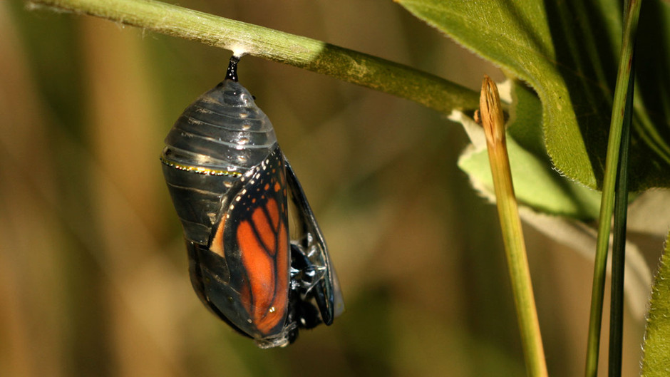 butterfly24 Миграция бабочек   монархов