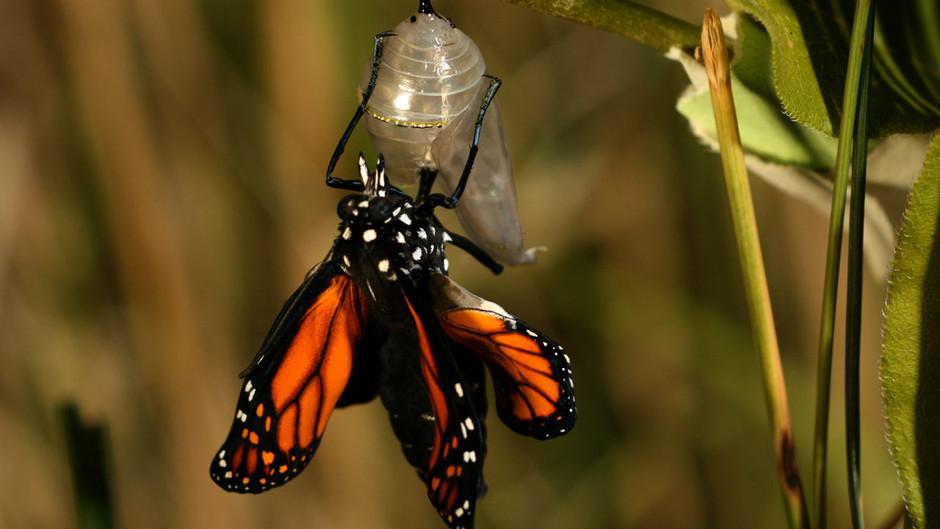 butterfly25 Миграция бабочек   монархов