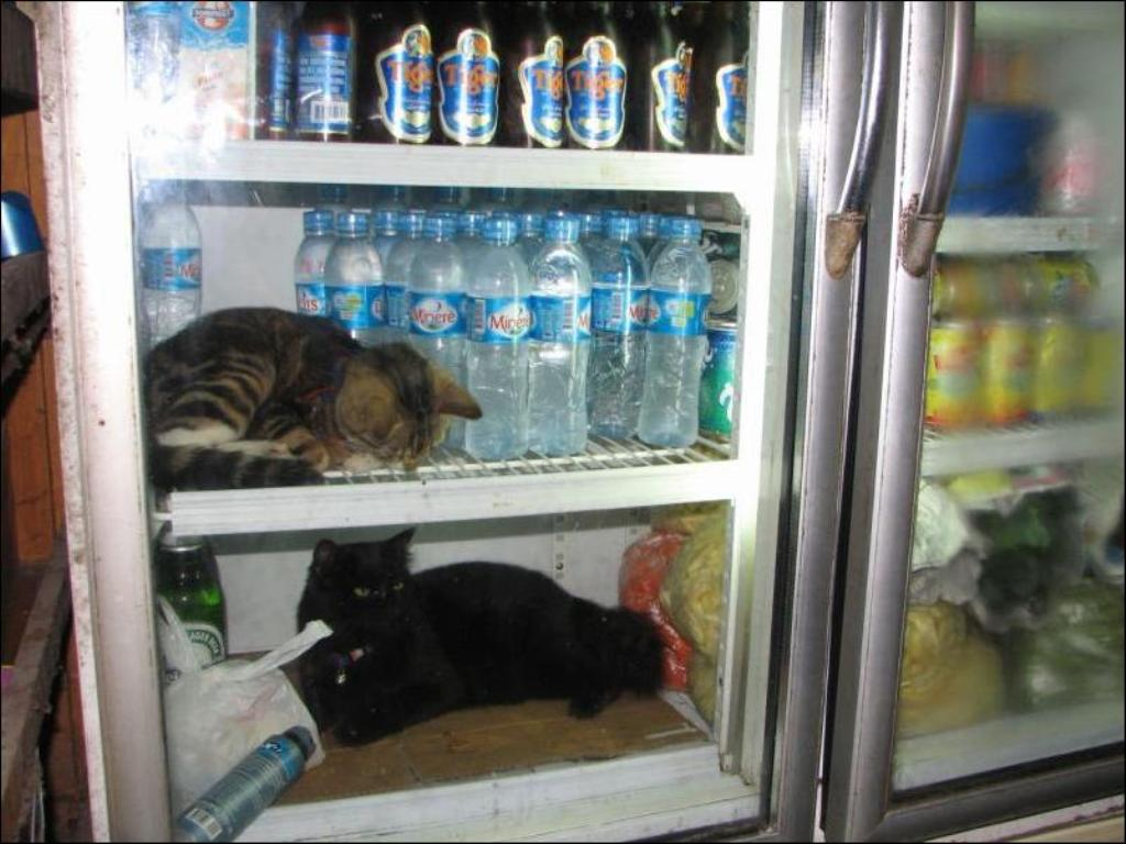 catfridge23 Коты в холодильниках
