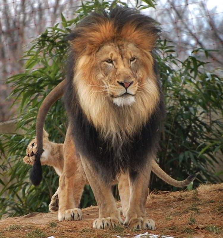 lions 01 Удивительные и эмоциональные кадры: Львиные разборки
