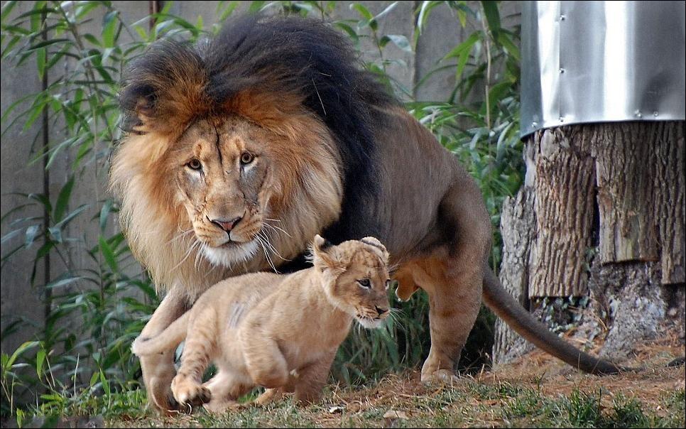 lions 02 Удивительные и эмоциональные кадры: Львиные разборки