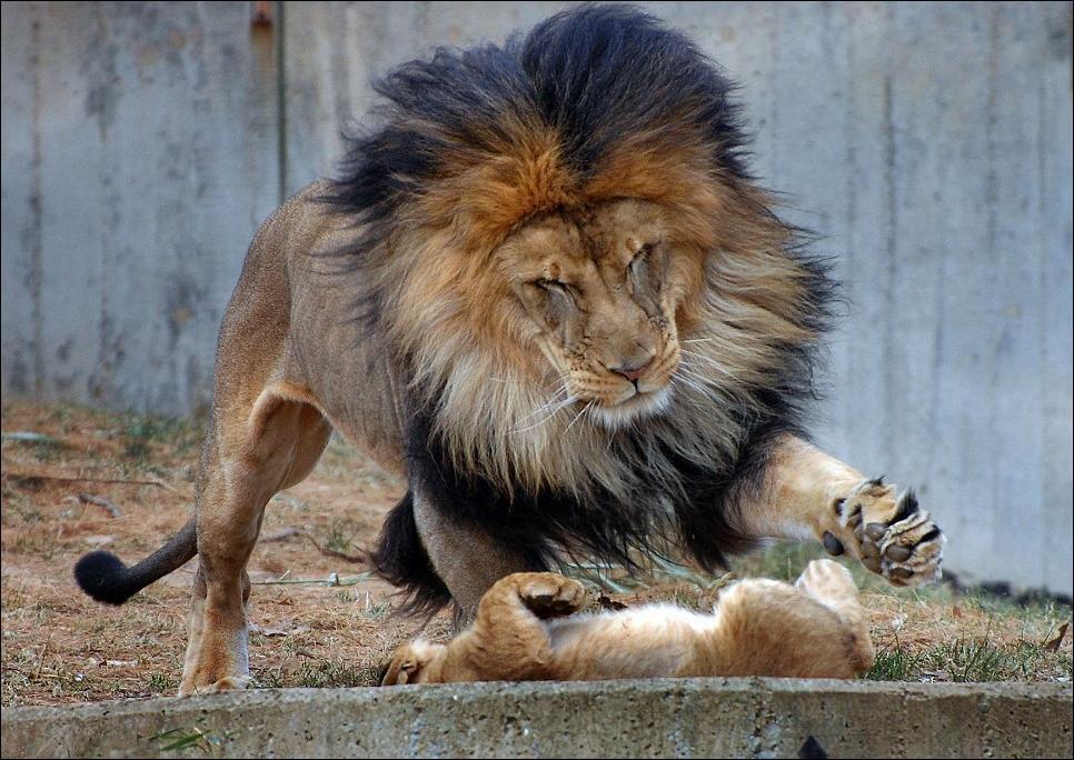 lions 03 Удивительные и эмоциональные кадры: Львиные разборки