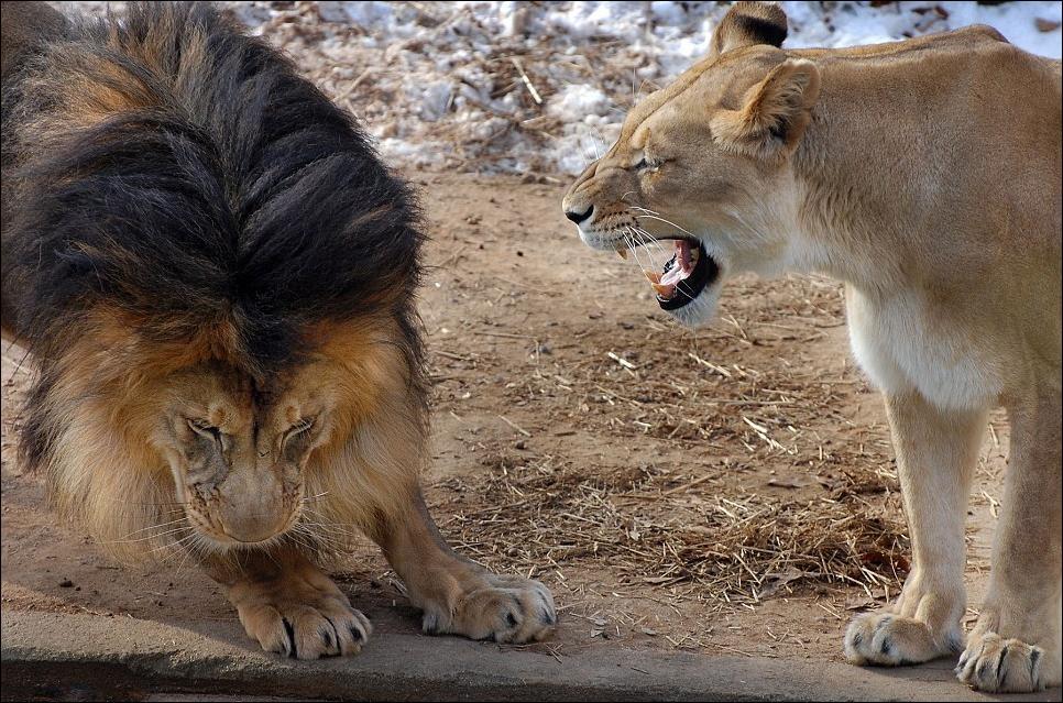 lions 04 Удивительные и эмоциональные кадры: Львиные разборки