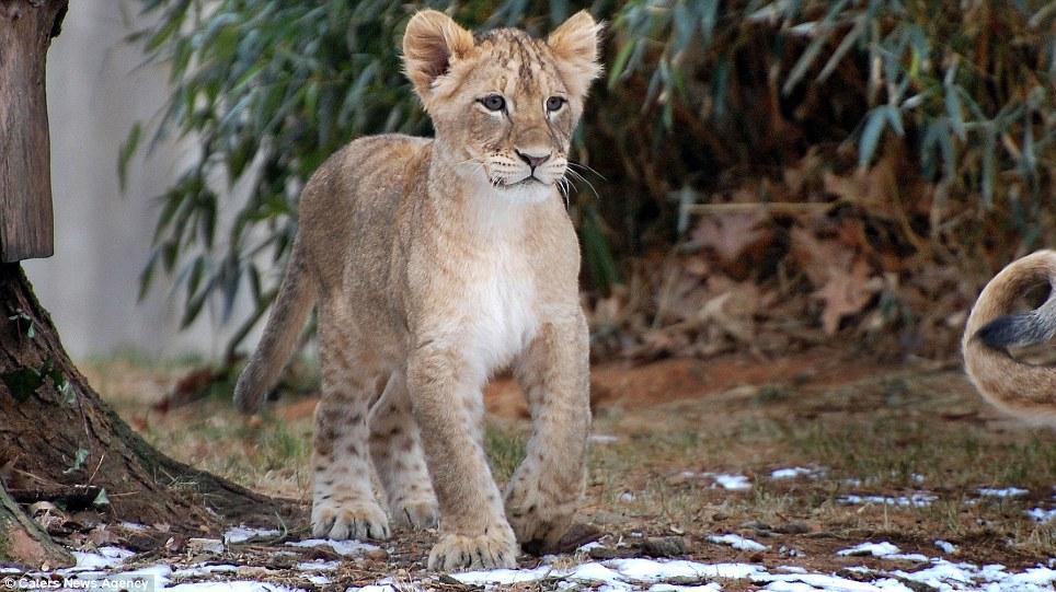 lions 05 Удивительные и эмоциональные кадры: Львиные разборки