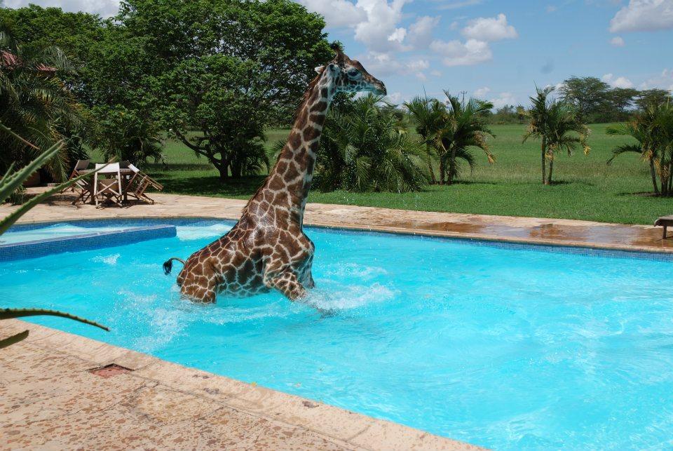 nWBeA Жираф искупался в бассейне