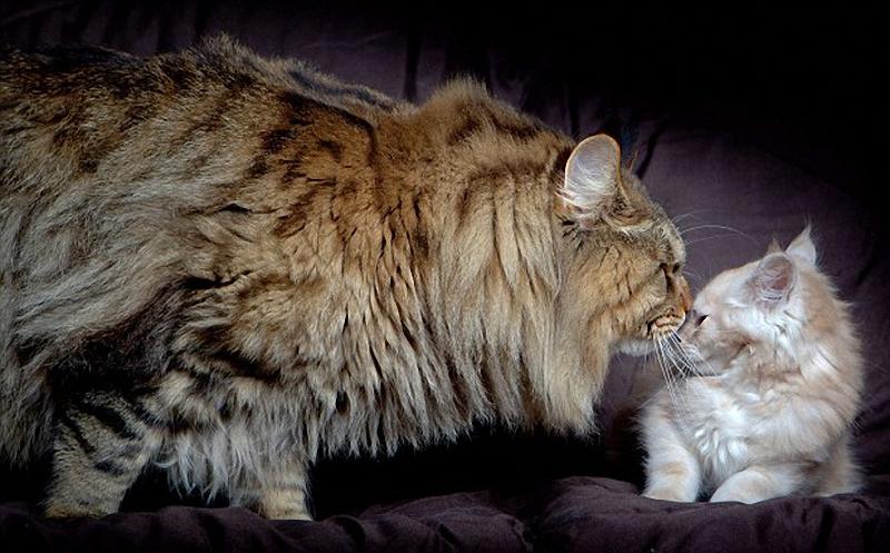 rupert Руперт   самый крупный кот в мире
