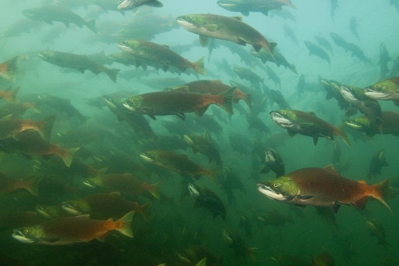 salmon02 Миграция лосося на реке Адамс