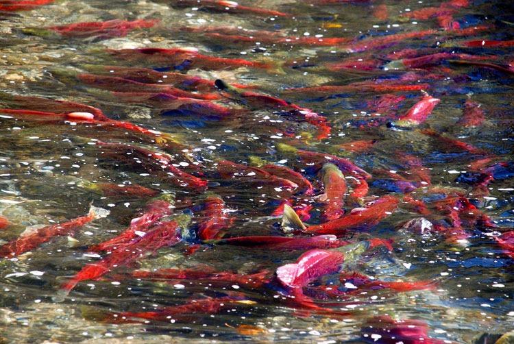 salmon03 Миграция лосося на реке Адамс