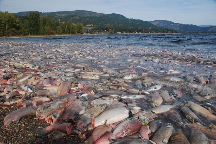 salmon08 Миграция лосося на реке Адамс