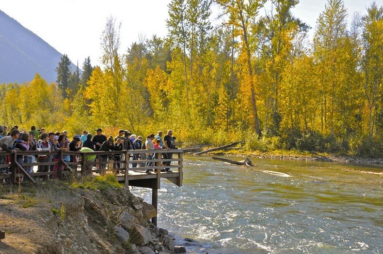salmon09 Миграция лосося на реке Адамс