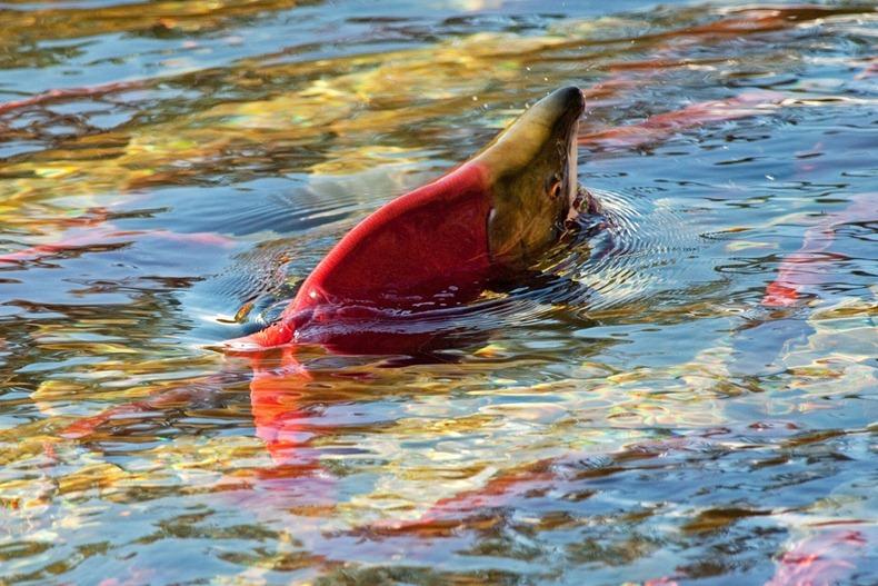 salmon10 Миграция лосося на реке Адамс