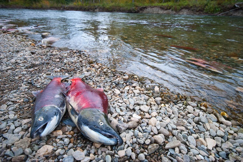 salmon11 Миграция лосося на реке Адамс