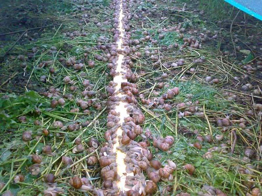 Выращивание больших улиток в домашних условиях 51