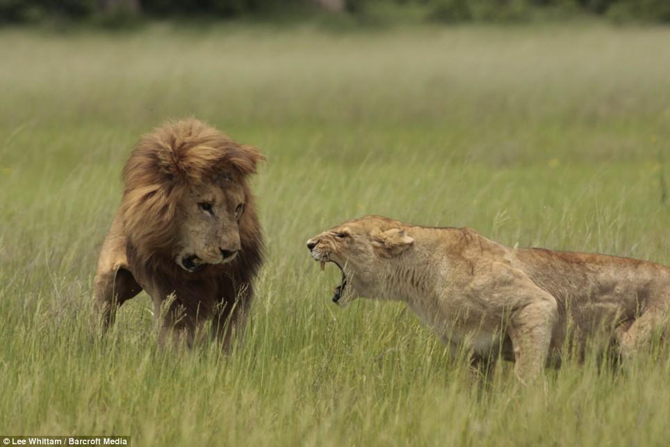 Удивительные и эмоциональные кадры: Львиные разборки