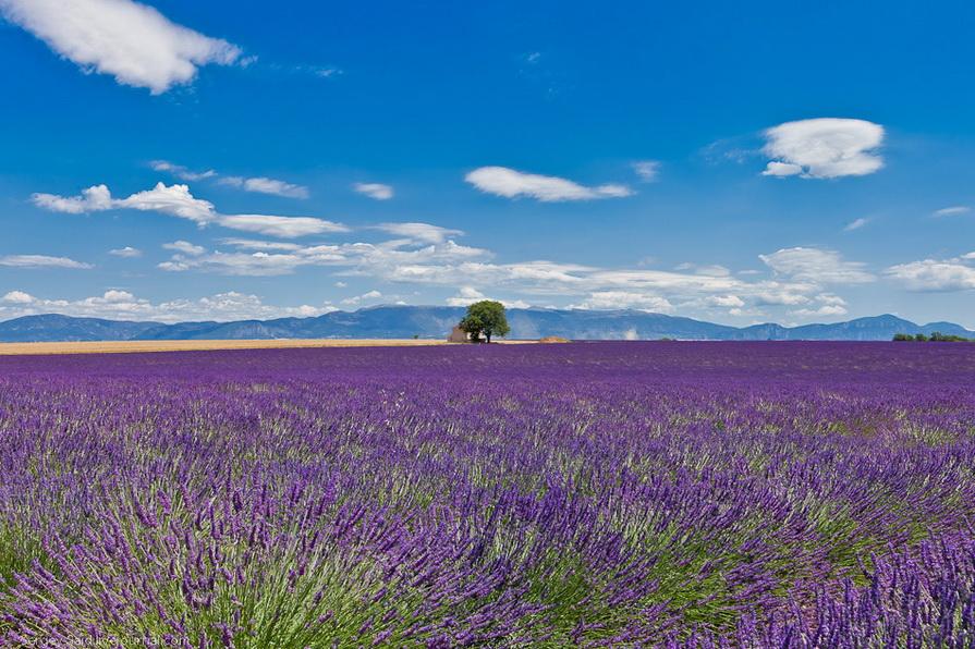 1146 А в Провансе лавандовые поля цветут