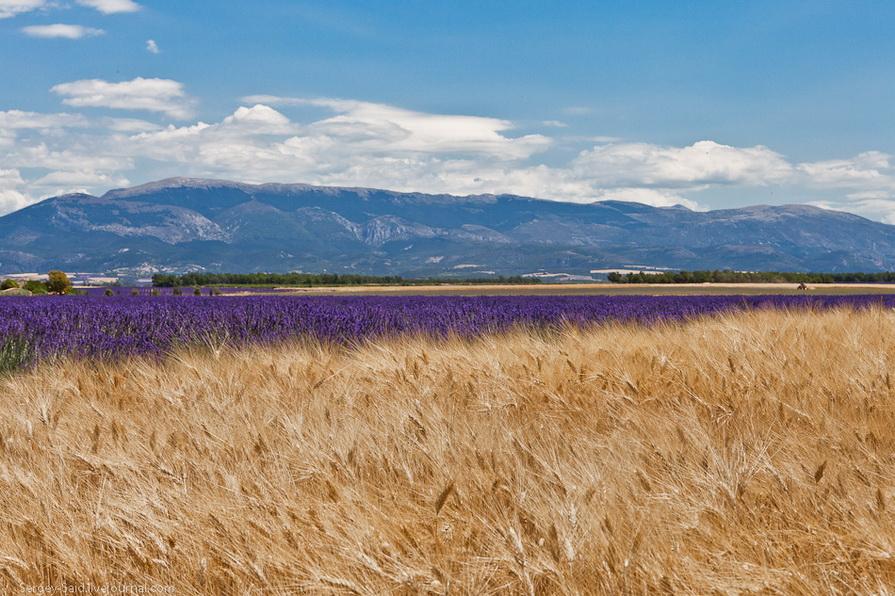 1329 А в Провансе лавандовые поля цветут