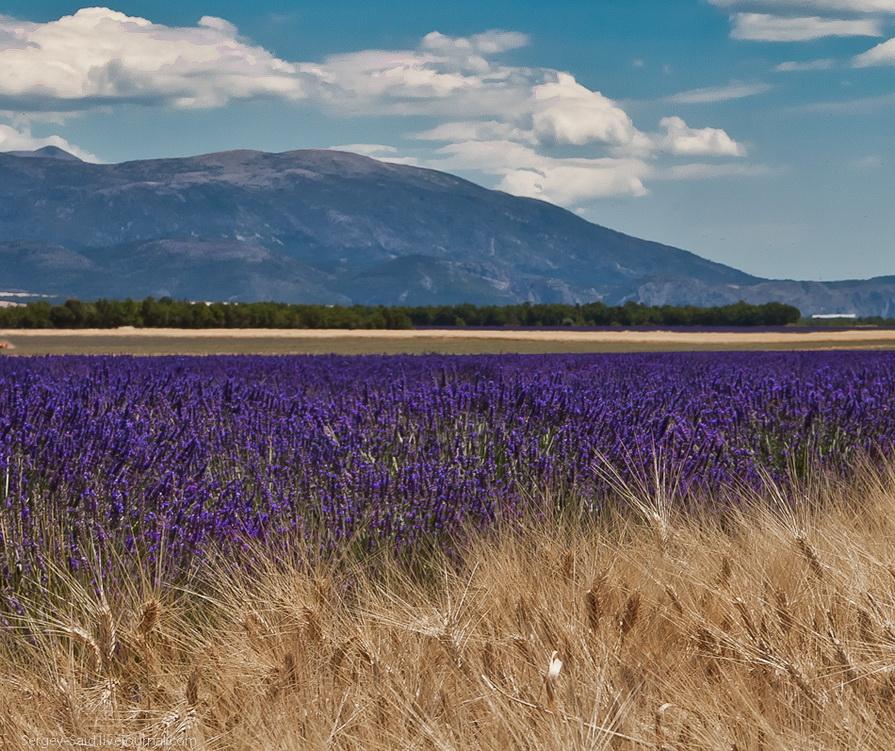 1526 А в Провансе лавандовые поля цветут