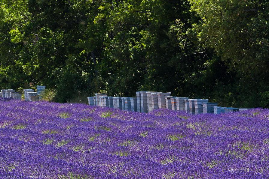 1923 А в Провансе лавандовые поля цветут