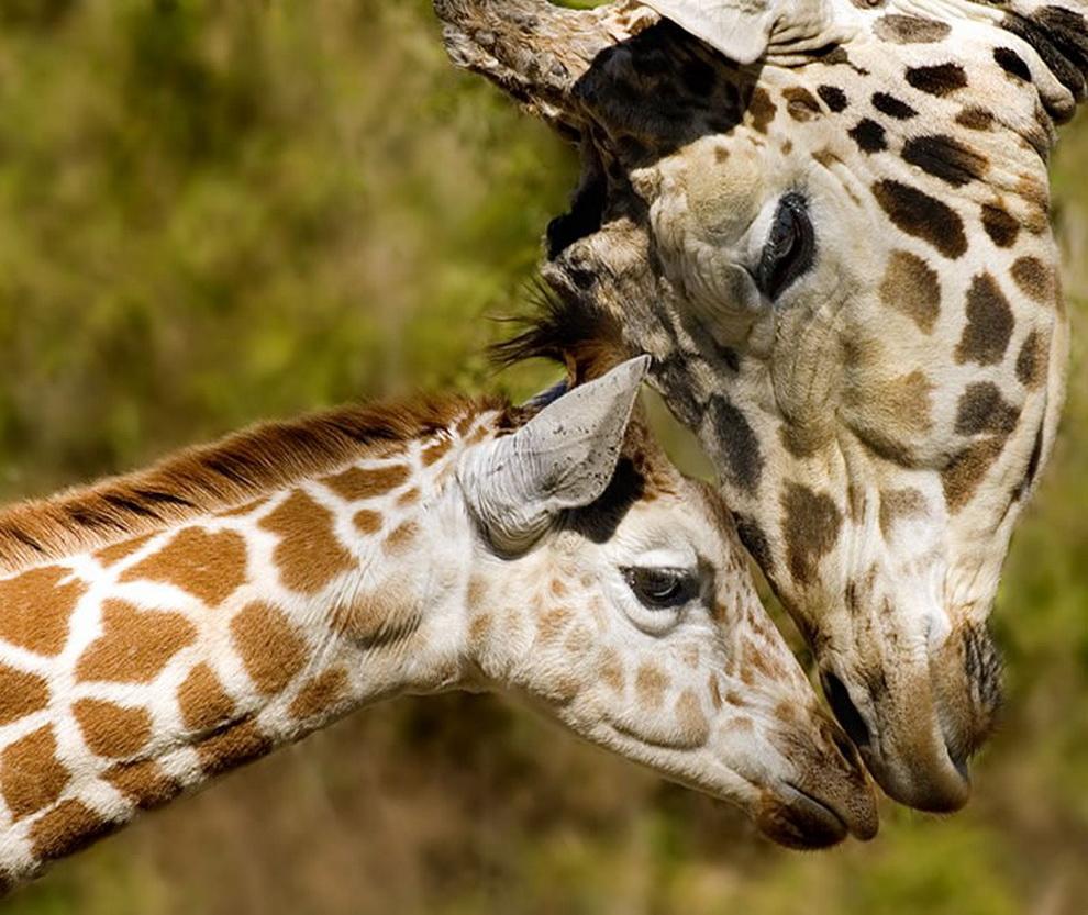 232 Животный мир: Мамина любовь