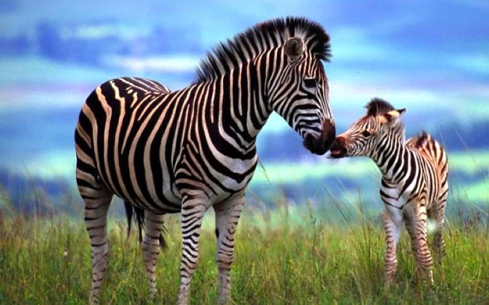 321 Животный мир: Мамина любовь
