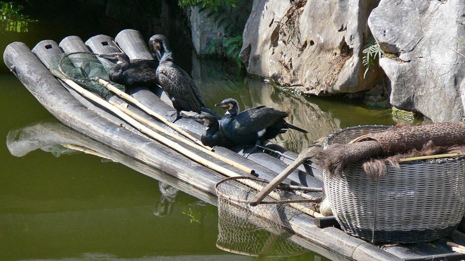 538 Традиционная китайская рыбалка с бакланами