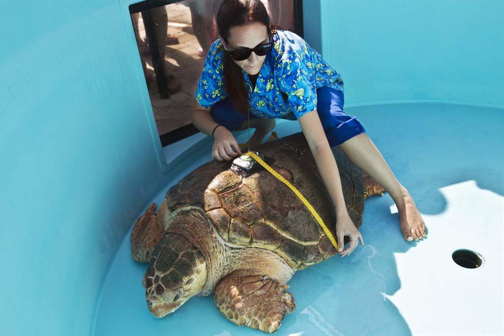 SeaTurtle 1 Головастая морская черепашка возвращается домой