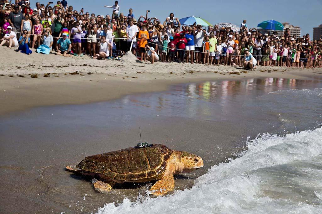 SeaTurtle 10 Головастая морская черепашка возвращается домой