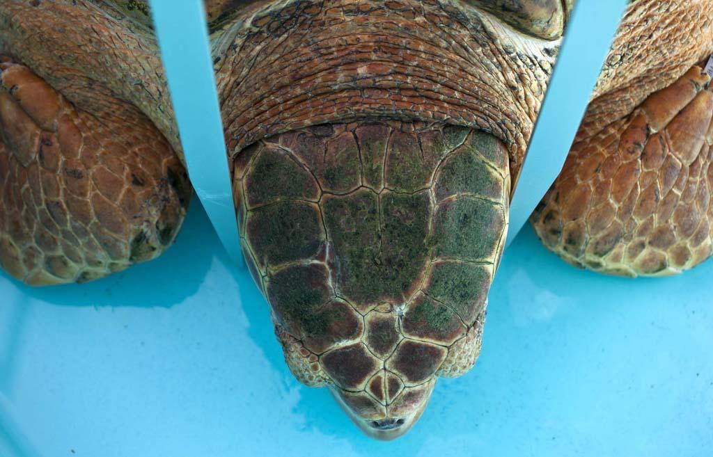 SeaTurtle 2 Головастая морская черепашка возвращается домой