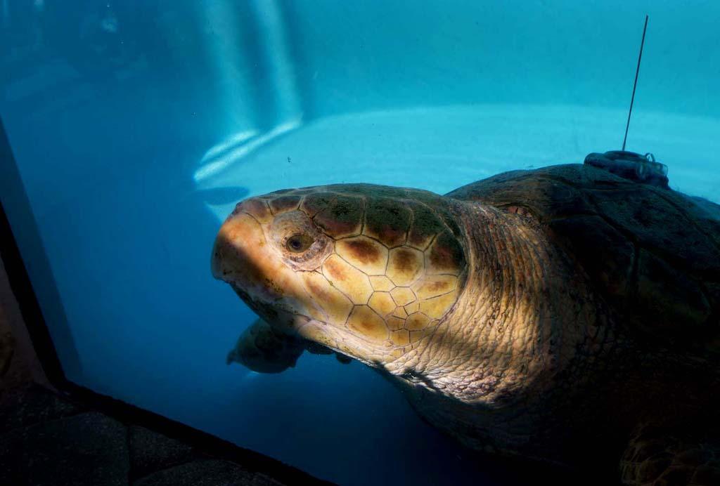 SeaTurtle 5 Головастая морская черепашка возвращается домой