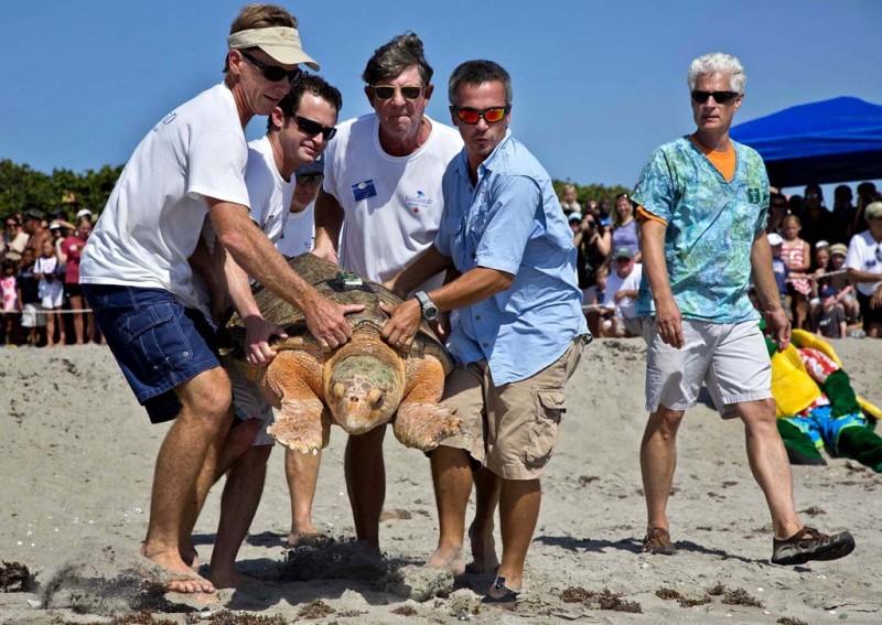 Головастая морская черепашка возвращается домой