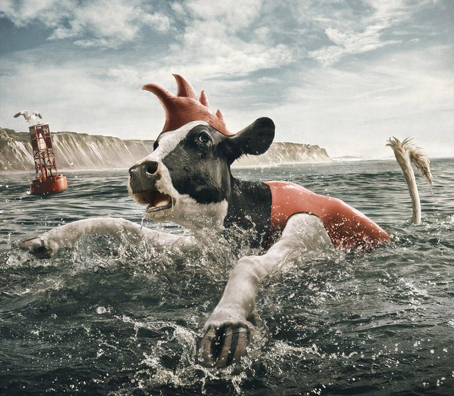 cows 6 Отважные коровы