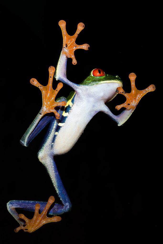 krasnoglazaya lyagushka 13 Красноглазая квакша – абсолютно мультяшная лягушка