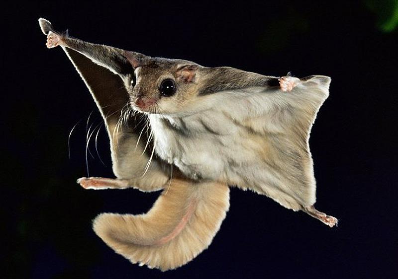 Картинки летающий белки