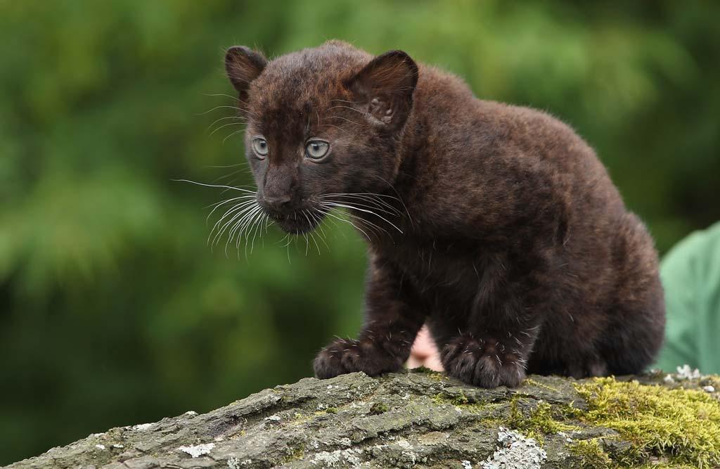Лучшие фотографии детенышей животных в 2012 году (45 фото) .