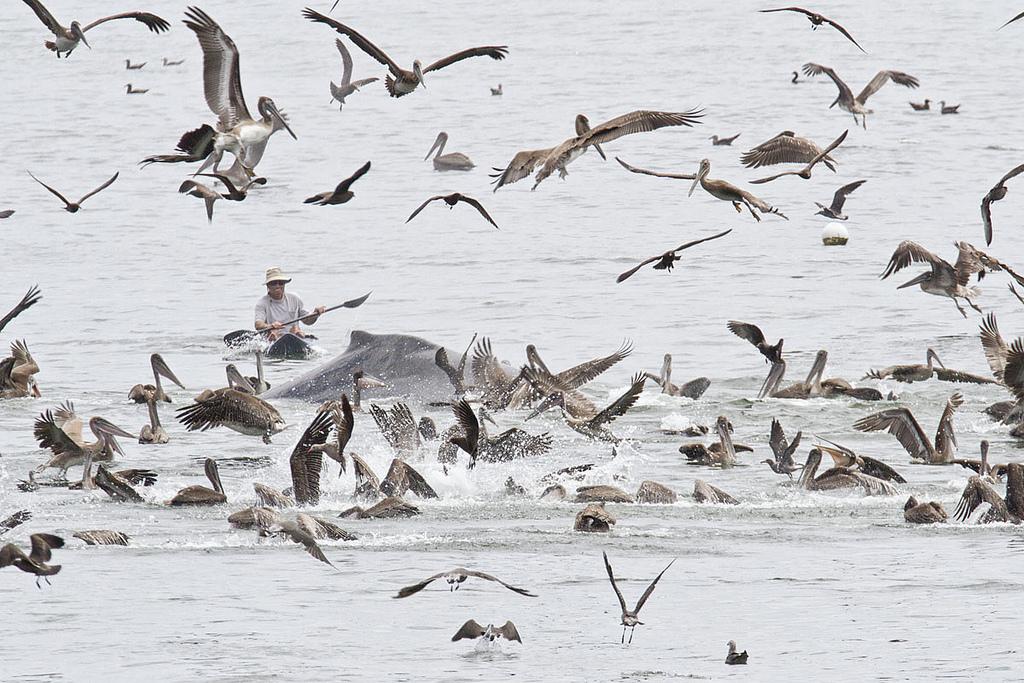 0 8f5b1 5e8633f2 orig Горбатые киты у побережья Калифорнии