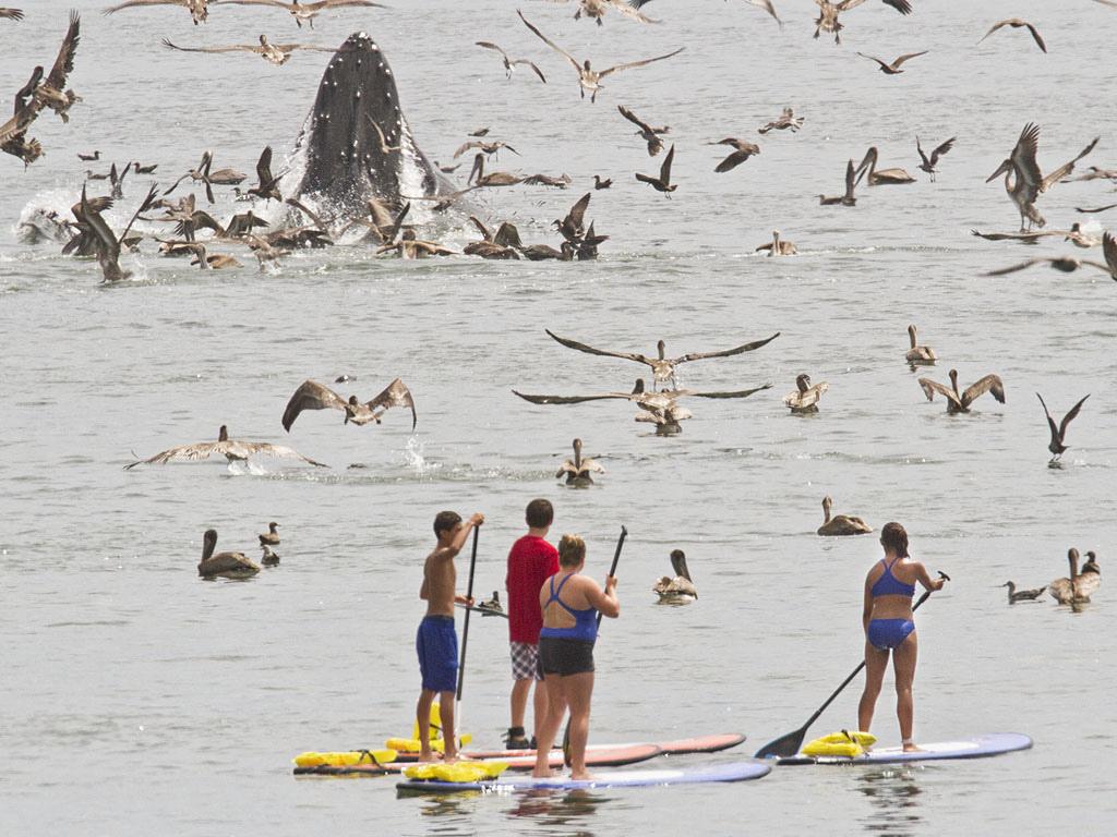 0 8f5b2 412dbea6 orig Горбатые киты у побережья Калифорнии