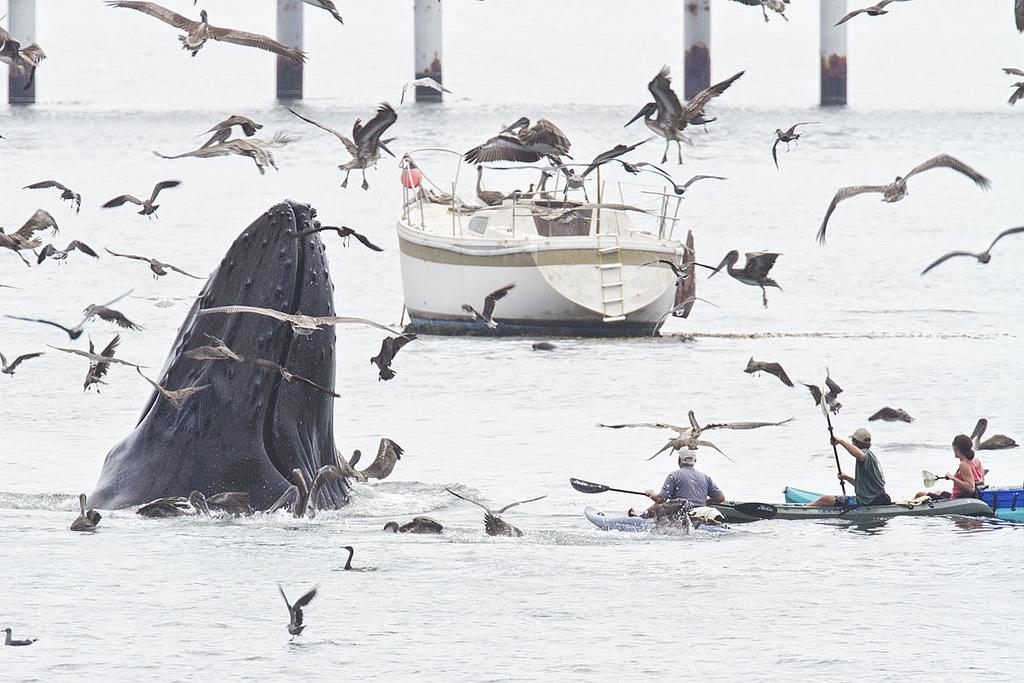 0 8f5b3 a6030b6f orig Горбатые киты у побережья Калифорнии