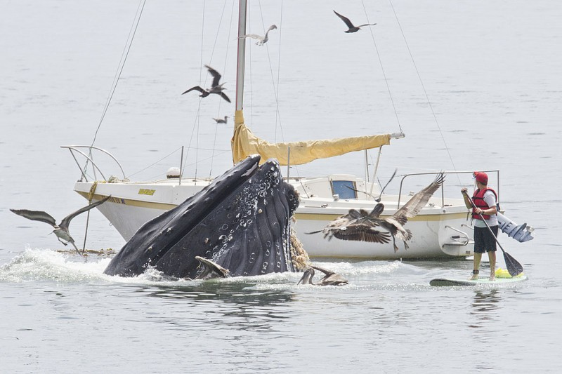 0 8f5b4 1b3d55a7 orig 800x533 Горбатые киты у побережья Калифорнии
