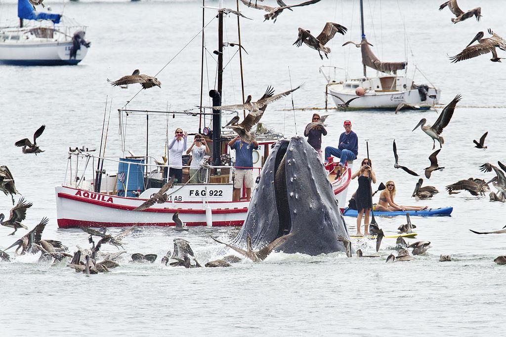 0 8f5b5 bf5269d7 orig Горбатые киты у побережья Калифорнии