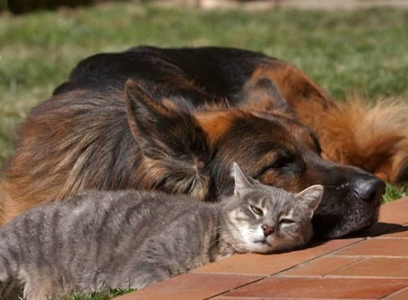 1037 Дружба кота и немецкой овчарки