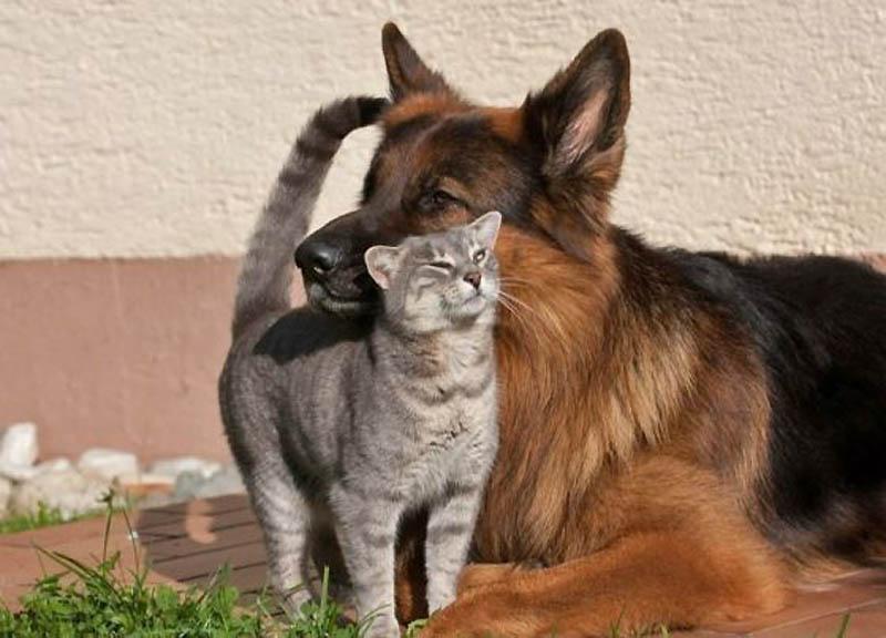 1109 Дружба кота и немецкой овчарки