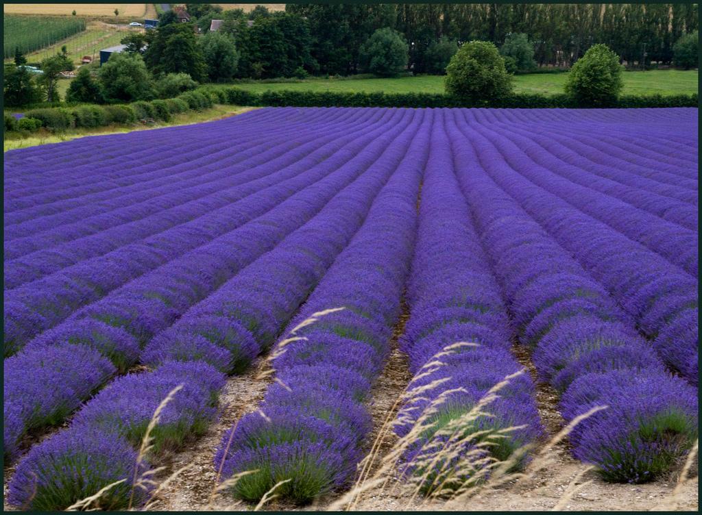 1136 Изумительные лавандовые поля по всему миру