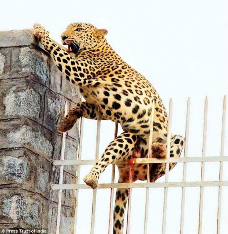 Леопард напоролся на острый прут забора, но был спасен